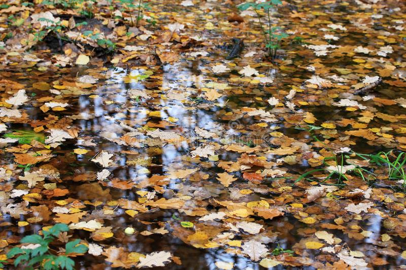 Yellow and brown leaves floating in a puddle in the autumn forest.  stock photo