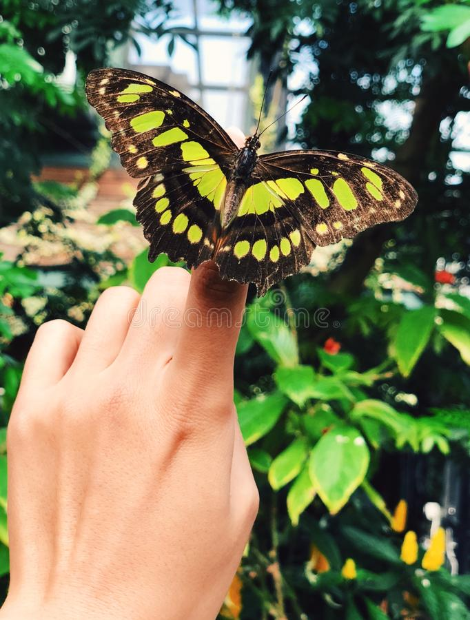 A yellow and brown malachite butterfly landing on a woman finger royalty free stock image
