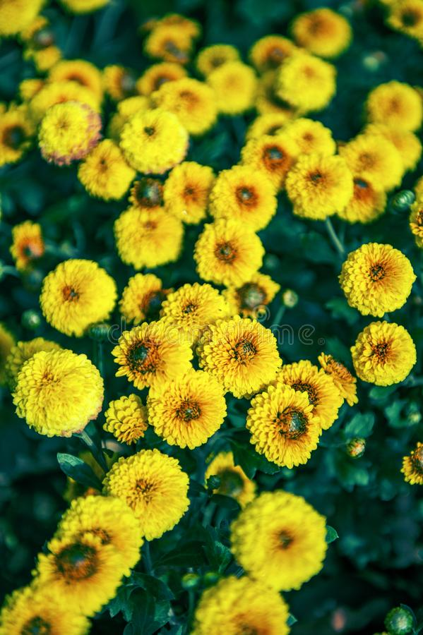 Yellow with brown middle button-shaped small chrysanthemums grow on a Bush in the Park. Lovely little flowers for birthday gift stock image