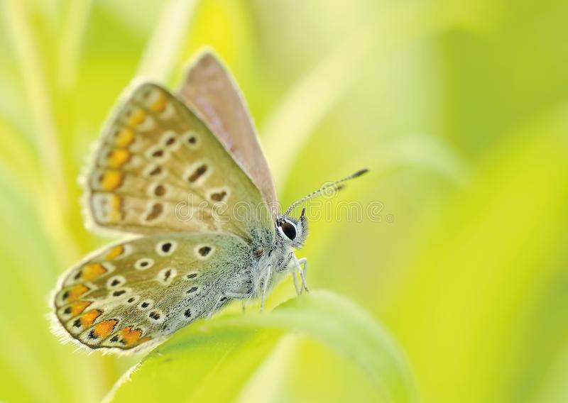 Yellow Brown and Silver Butterfly Sitting on a Grass stock photography