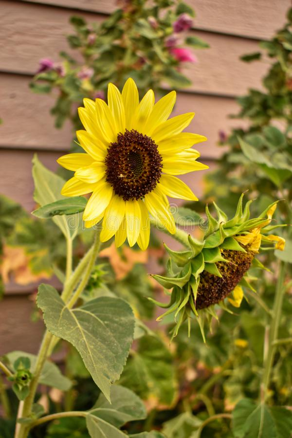 Yellow And Brown Summer Sunflowers Stock Photo - Image of ...