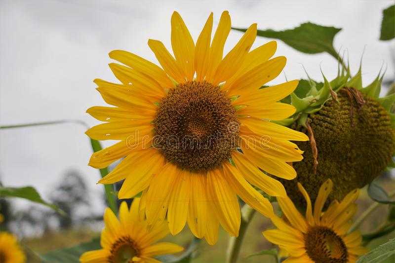 Yellow and Brown Sunflower Field Under the Cloudy Skies royalty free stock photo