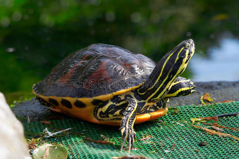 Yellow brown turtle with long neck. And spotted armor royalty free stock photography