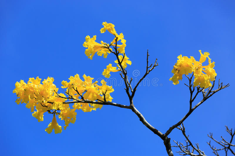 Yellow brunch on blue sky stock image