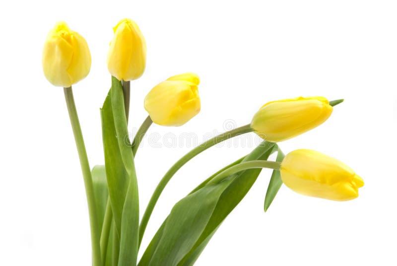 Yellow bud tulips stock photo