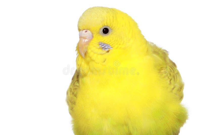 Yellow budgerigar royalty free stock photo