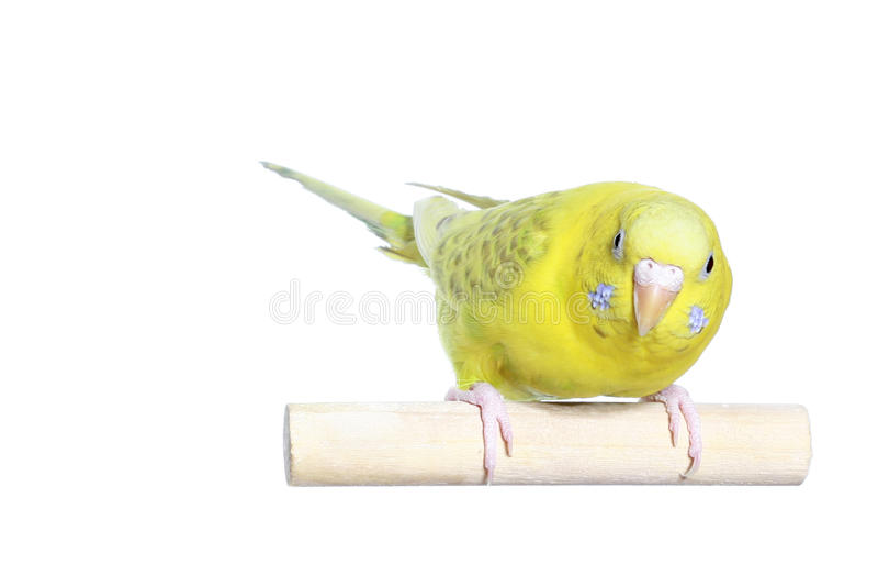 Yellow budgerigar stock photos