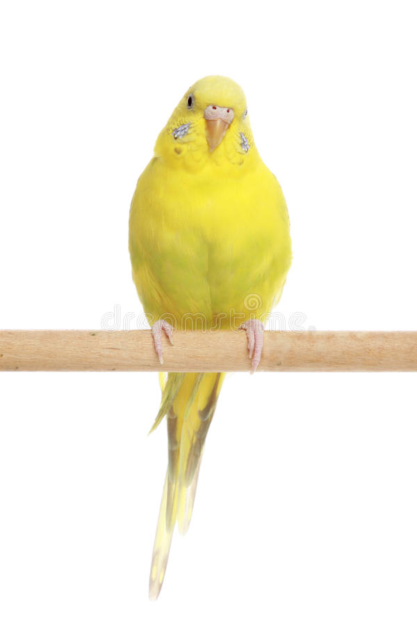 Yellow budgerigar on a branch stock image