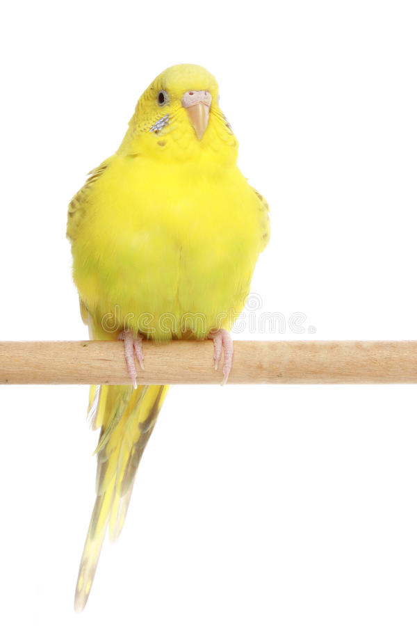 Yellow, the budgerigar sits on a branch stock photography
