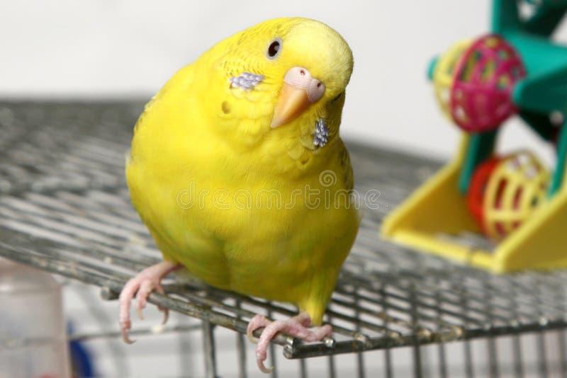 Yellow budgie stock photo