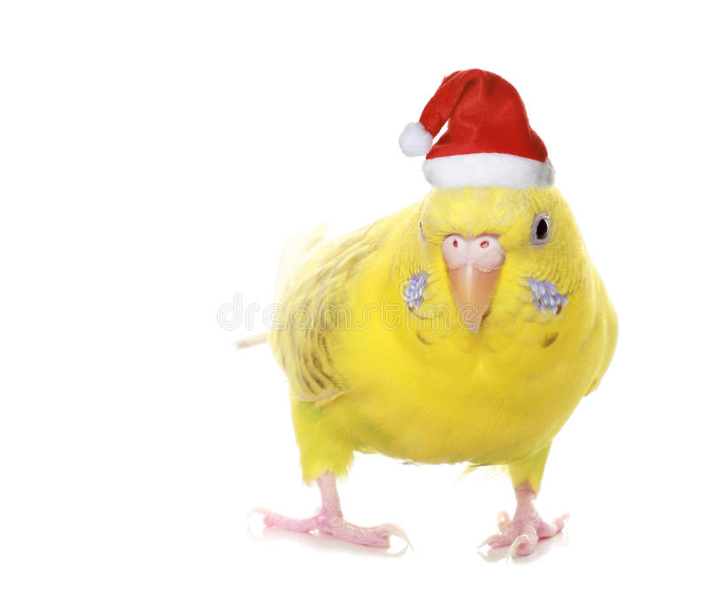 Yellow budgie royalty free stock photography