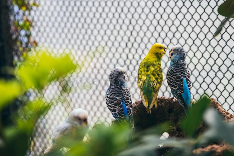 Yellow budgie plays with a blue budgie in an aviary. As they stand on a rock stock photography