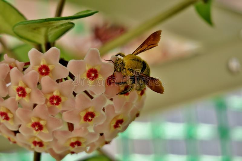Yellow bumblebee collects pollen from small pink flowers stock photo