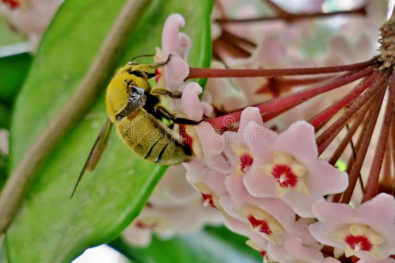 Yellow bumblebee collects pollen from small pink flowers royalty free stock image