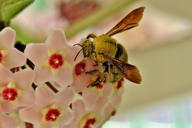 Yellow bumblebee collects pollen from small pink flowers royalty free stock photo