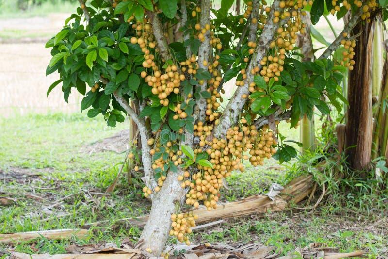 Yellow burmese grape (fruit) on tree,Thailand.  royalty free stock images