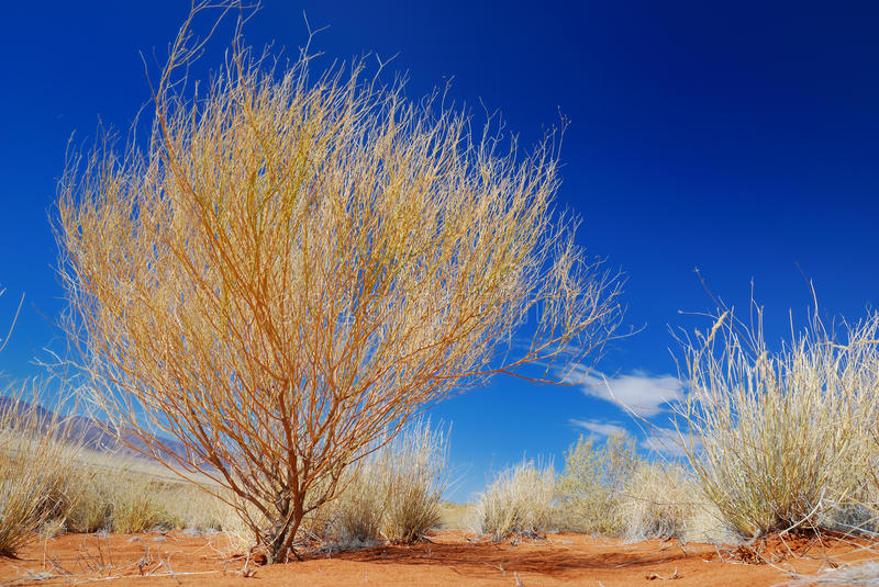 Yellow Bush in the Desert royalty free stock images
