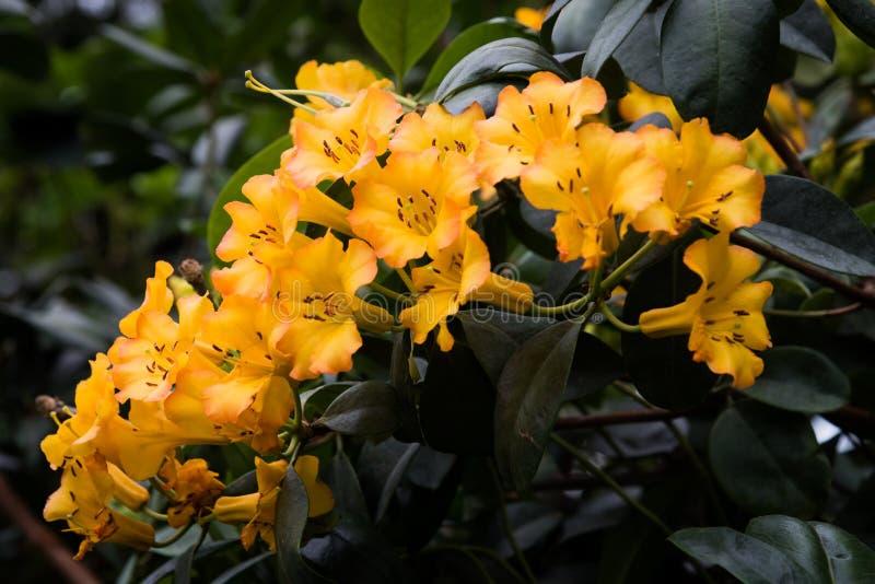 Yellow Bush Lily stock image