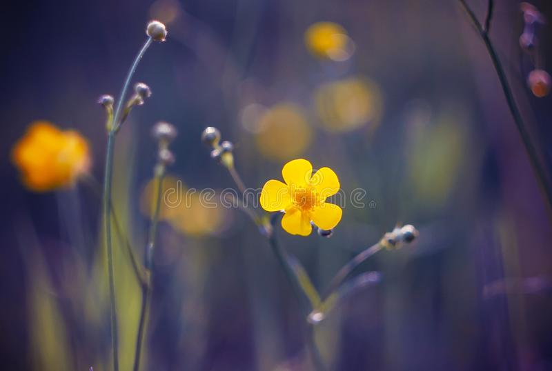 A yellow Buttercup flower bloomed against a purple background royalty free stock images