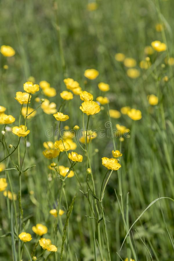 Yellow buttercup flowers blooming on mountain, crowfoot, ranunculus royalty free stock images