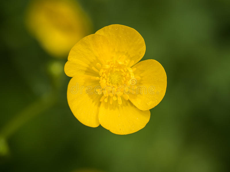 Yellow buttercup. On the green background stock image