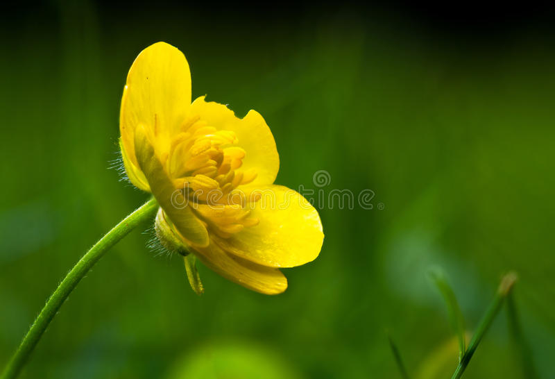 Yellow buttercup on green bokeh. Close-up of yellow buttercup and green bokeh in background stock photos