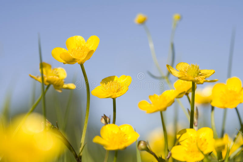 Yellow buttercups royalty free stock photo