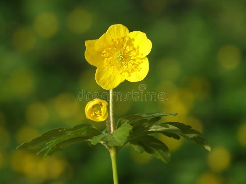 Yellow buttercups stock image