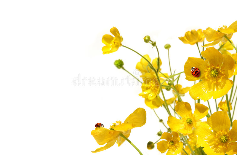 Yellow buttercups with ladybug on white stock photography