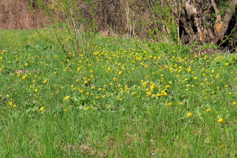 Yellow buttercups. On the meadow stock photos