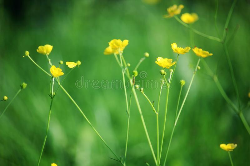 Yellow buttercups in summer season in meadow. Yellow small buttercups bloosoming in a summer field in Russian countryside royalty free stock photos