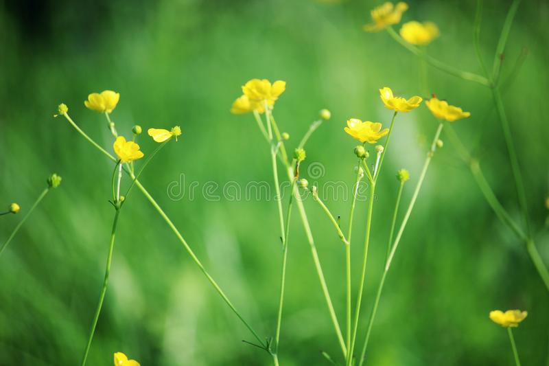 Yellow buttercups in summer season in meadow. Yellow small buttercups bloosoming in a summer field in Russian countryside royalty free stock image