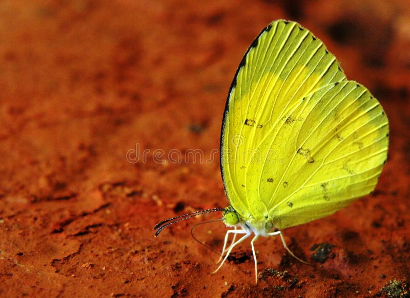 Yellow butterfly. Side view of colorful yellow butterfly with red soil background stock image