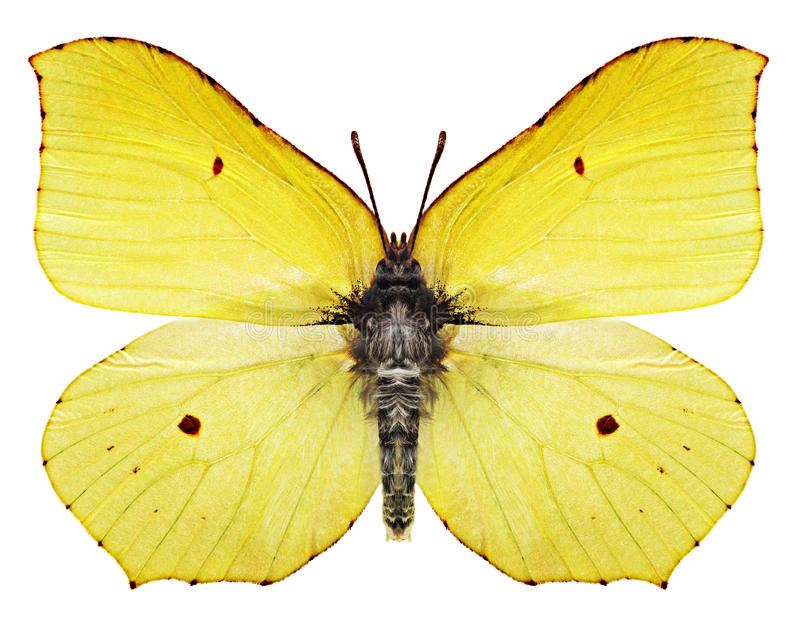 Yellow butterfly royalty free stock images