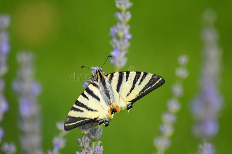 Yellow butterfly on blooming lavender stock photos