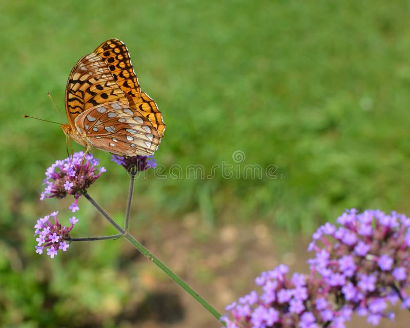 Yellow Butterfly on a Dainty Purple Flower royalty free stock photography