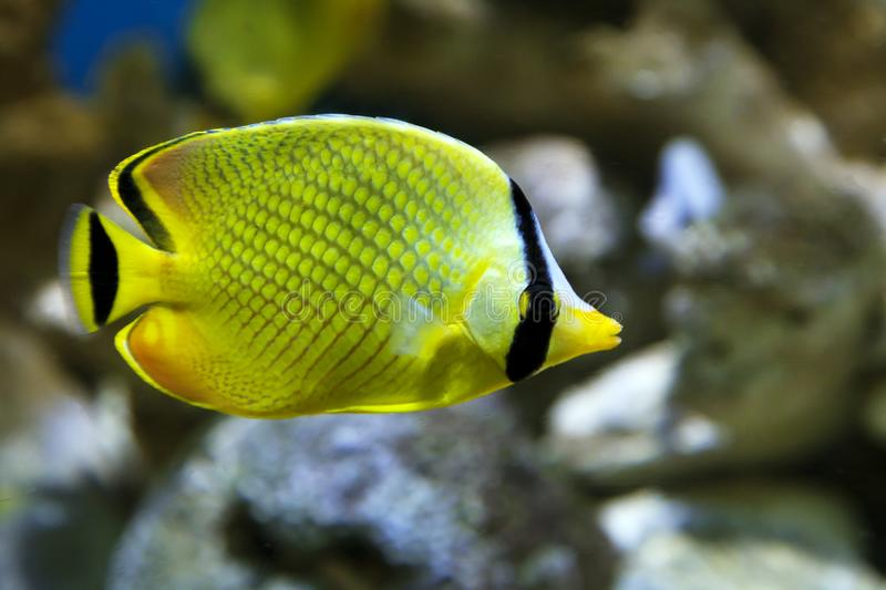Yellow Butterfly fish Chaetodon rafflesi. In an aquarium stock image