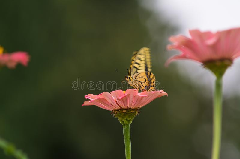 Yellow butterfly on a flower. Captured moment when the yellow butterfly stands on the flower and sucks the juice stock images