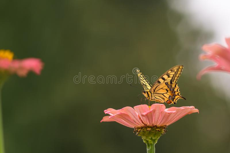 Yellow butterfly on a flower. Captured moment when the yellow butterfly stands on the flower and sucks the juice royalty free stock image