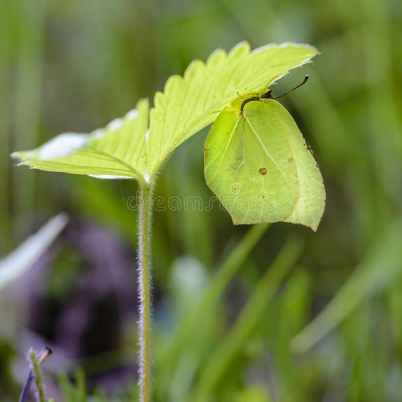 The yellow butterfly gonepteryx rhamni. Hid under a strawberry leaf stock image
