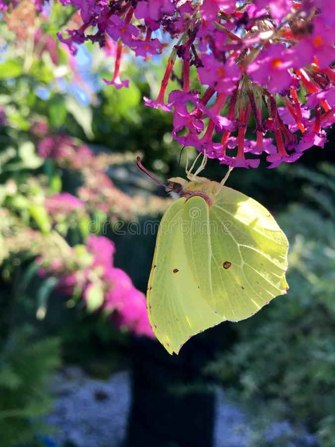Yellow butterfly Gonepteryx rhamni on a purple flower in the garden. On a sunny day stock images
