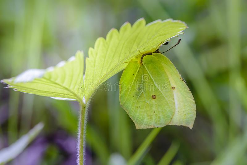 The yellow butterfly gonepteryx rhamni. Hid under a strawberry leaf stock photos