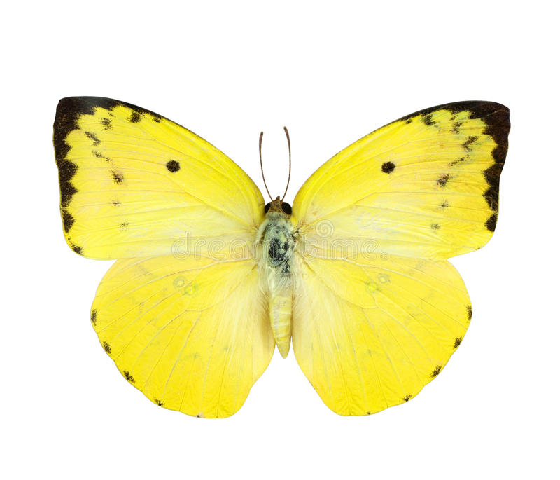 Yellow butterfly isolated on white royalty free stock photos