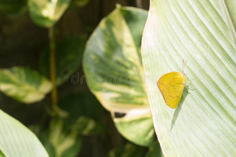 Yellow butterfly on the leaf blurry or soft focus,Yellow butterfly in daytime,Small yellow butterfly. royalty free stock photos