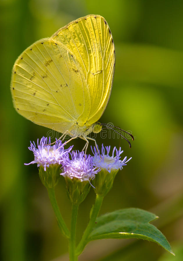 Yellow Butterfly On Purple Flowers. royalty free stock photos