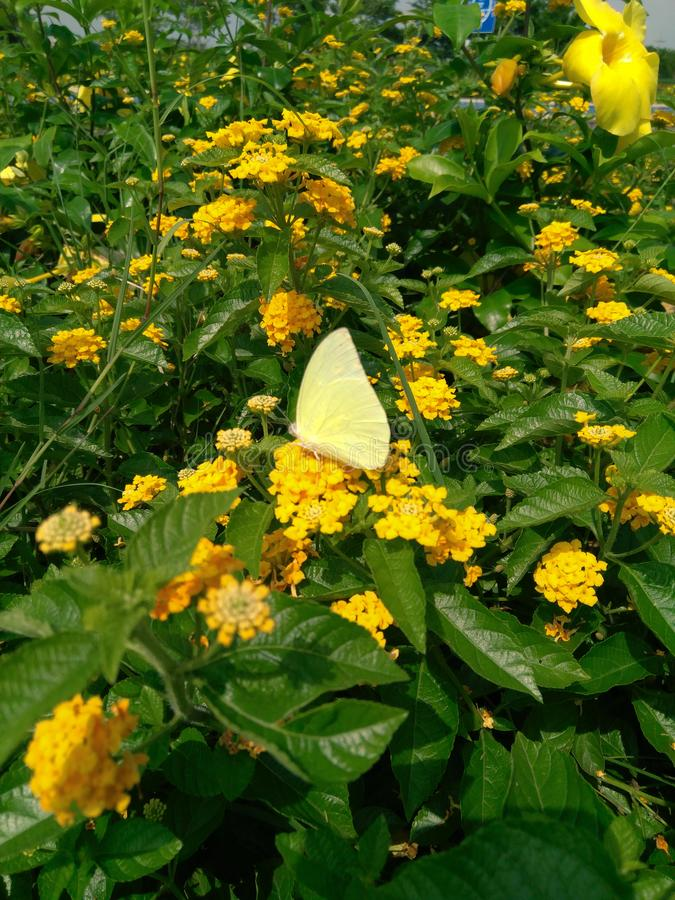 Yellow butterfly sitting in flower, plants bush in the garden photography. Wild, life, nature, park, outdoors, plantation, day, sunlight, green, leaves, grass royalty free stock images