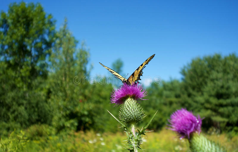 Yellow Butterfly on Thistle royalty free stock image