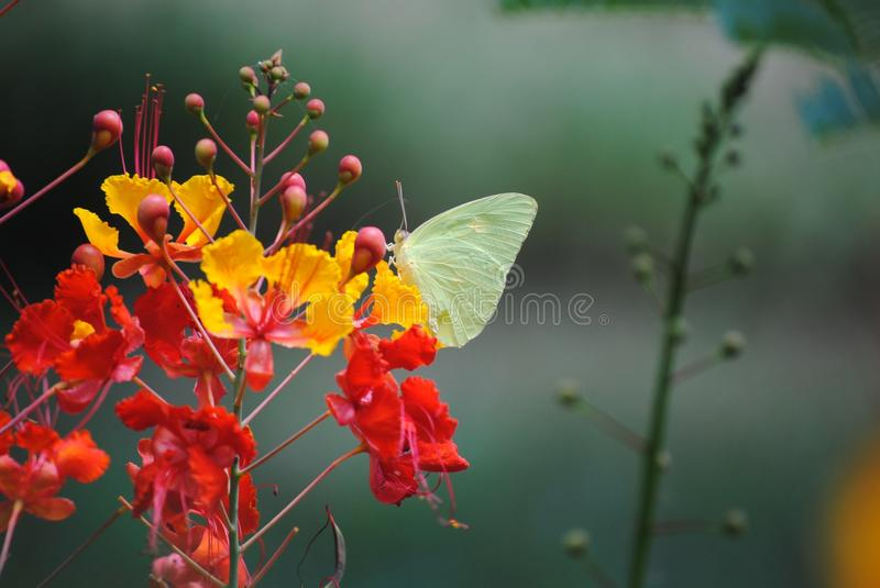 Yellow Butterfly on Vivid Pride of Barbados stock images
