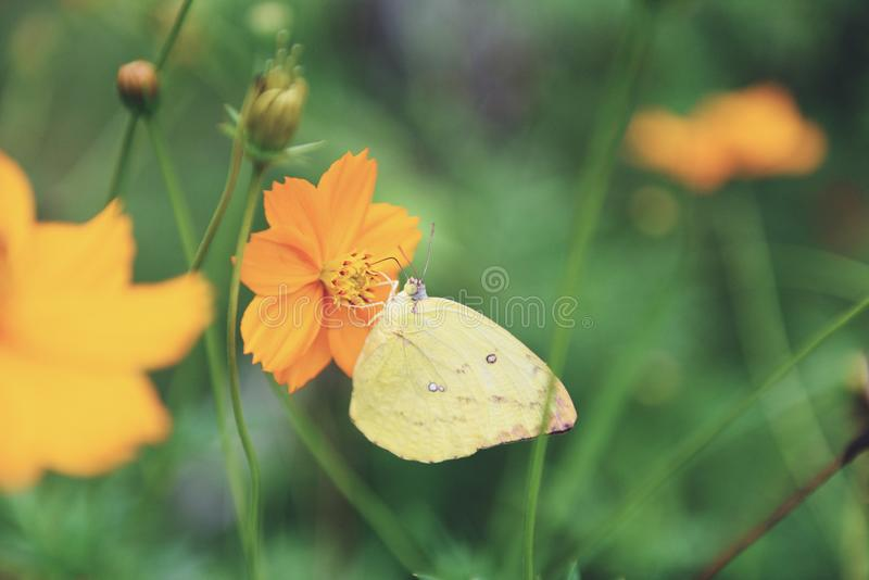 Yellow butterfly on the yellow flower on nature spring tone vintage stock image