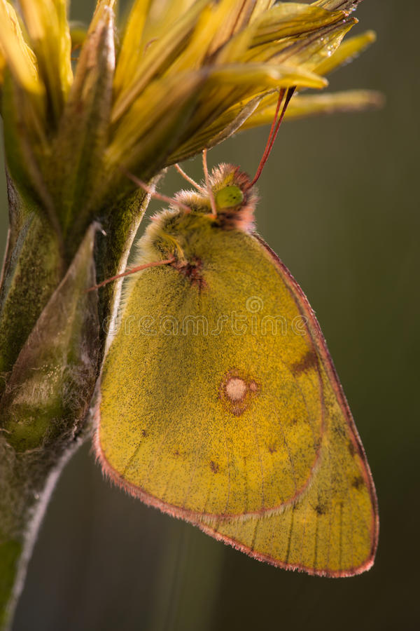 Yellow butterfly on a yellow flower. royalty free stock photo